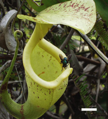 ���� ����� �������� nepenthes.jpg